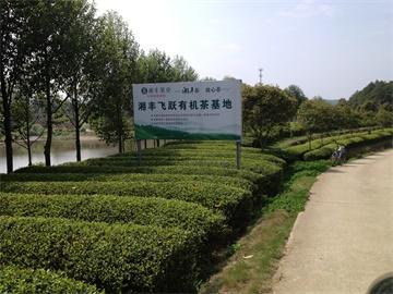 湘丰飞跃有机茶基地
